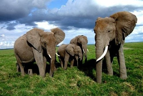 Beaux éléphants dans la savane.