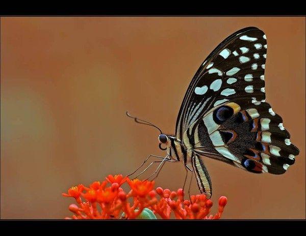 Magnifique papillon.